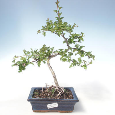 Outdoor Bonsai - Hawthorn Einzelsamen VB2020-548