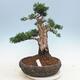 Bonsai im Freien - Juniperus chinensis - chinesischer Wacholder - 1/5
