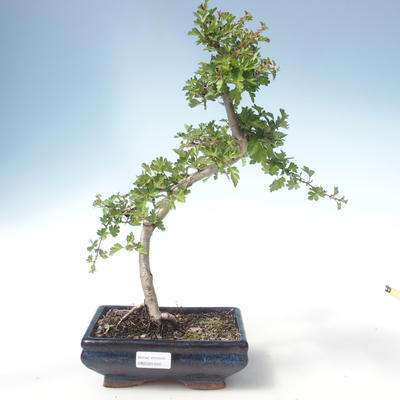 Outdoor Bonsai - Hawthorn Einzelsamen VB2020-550