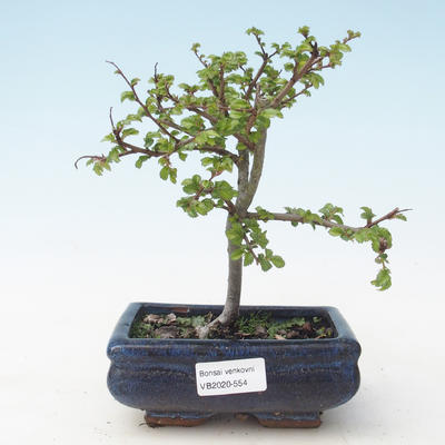 Outdoor Bonsai-Ulmus parviflora-Kleinblättriger Ton VB2020-554