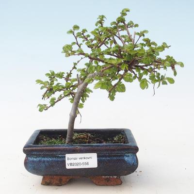 Outdoor Bonsai-Ulmus parviflora-Kleinblättriger Ton VB2020-556
