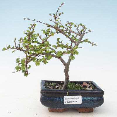 Outdoor Bonsai-Ulmus parviflora-Kleinblättriger Ton VB2020-557
