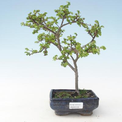 Outdoor Bonsai-Ulmus parviflora-Kleinblättriger Ton VB2020-558