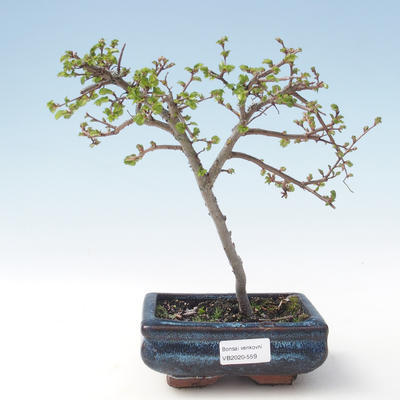 Outdoor Bonsai-Ulmus parviflora-Kleinblättriger Ton VB2020-559
