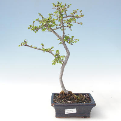 Outdoor Bonsai-Ulmus Parviflora-Kleinblättriger Ton VB2020-560