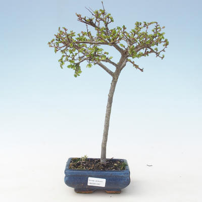 Outdoor Bonsai-Ulmus parviflora-Kleinblättriger Ton VB2020-561