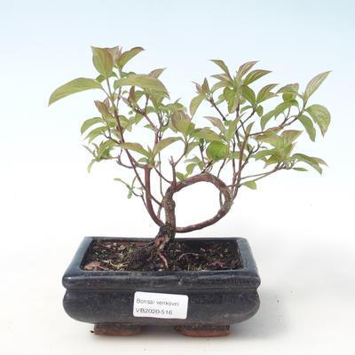 Bonsai im Freien - Hartriegel - Cornus mas VB2020-516 - 1