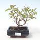 Bonsai im Freien - Hartriegel - Cornus mas VB2020-516 - 1/2