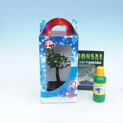 Zimmer Bonsai in einer Geschenkbox - 1