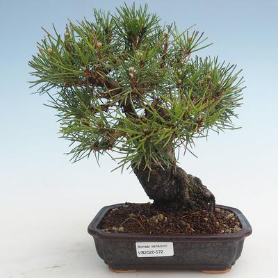 Pinus thunbergii - Thunberg Kiefer VB2020-572 - 1