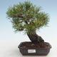 Pinus thunbergii - Thunberg Kiefer VB2020-572 - 1/5