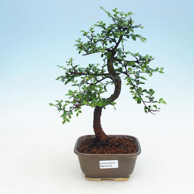 Indoor Bonsai - Ulmus parvifolia - Kleine Blattulme - 1