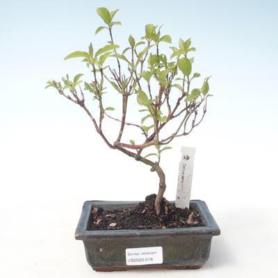 Bonsai im Freien - Hartriegel - Cornus mas VB2020-518 - 1