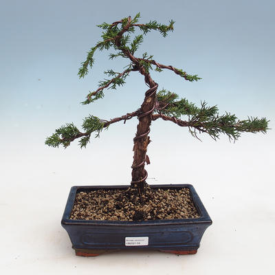 Bonsai im Freien - Juniperus chinensis - chinesischer Wacholder