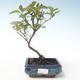Bonsai im Freien - Hartriegel - Cornus mas VB2020-511 - 1/2