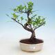 Zimmer Bonsai - Ficus kimmen - malolistý Ficus - 1/2
