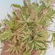 Outdoor Bonsai - Japanischer Ahorn Acer palmatum Schmetterling 408-VB2019-26728 - 1/2
