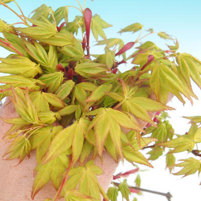 Acer palmatum Aureum - Japanischer Ahorn VB2020-469 - 1