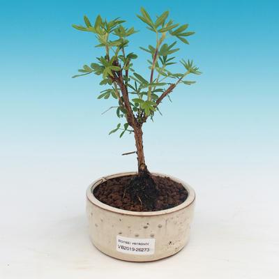 Bonsai-Cinquefoil im Freien - Dasiphora fruticosa gelb - 1