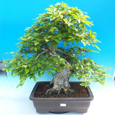 Outdoor-Bonsai -Carpinus CARPINOIDES - Koreanisch Hainbuche - 1