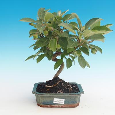 Bonsai im Freien - Malus halliana - Malplate Apfelbaum - 1