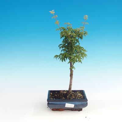 Outdoor-Bonsai - Acer palmatum SHISHIGASHIRA - Kleiner Ahorn - 1