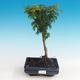 Outdoor-Bonsai - Acer palmatum SHISHIGASHIRA - Kleiner Ahorn - 1/3
