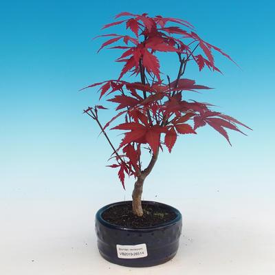 Bonsai im Freien - Acer-Palme. Atropurpureum - Japanisches Ahornrot - 1