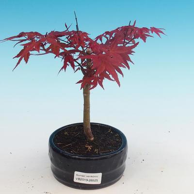 Outdoor-Bonsai - Ahorn palmatum DESHOJO - Maple dlanitolistý - 1