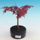 Outdoor-Bonsai - Ahorn palmatum DESHOJO - Maple dlanitolistý - 1/3