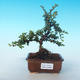 Outdoor-Bonsai-Cotoneaster horizontalis-Cotoneaster - 1/2