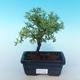 Bonsai-Cinquefoil im Freien - Dasiphora fruticosa gelb - 1/2