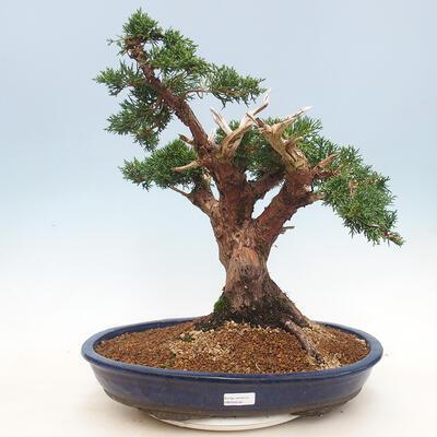 Bonsai im Freien - Juniperus chinensis - chinesischer Wacholder - 1