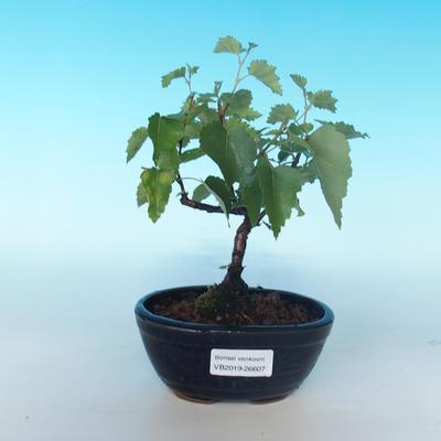 Bonsai im Freien - Betula verrucosa - silberne Birke