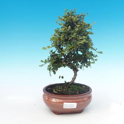 Outdoor-Bonsai-Cotoneaster horizontalis-Cotoneaster - 1