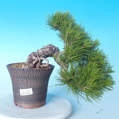 Pinus thunbergii - Thunbergkiefer - 1