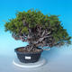 Outdoor Bonsai - Juniperus chinensis ITOIGAWA - Chinesischer Wacholder - 1/6
