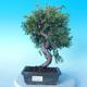 Outdoor Bonsai - Juniperus chinensis ITOIGAWA - Chinesischer Wacholder - 1/6