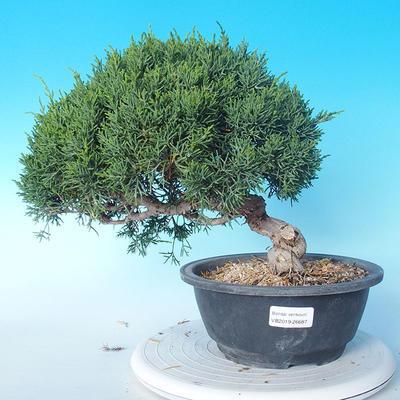 Outdoor Bonsai - Juniperus chinensis ITOIGAWA - Chinesischer Wacholder - 1
