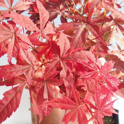 Bonsai im Freien - Acer-Palme. Atropurpureum-Japanisches Ahornrot 408-VB2019-26725 - 1