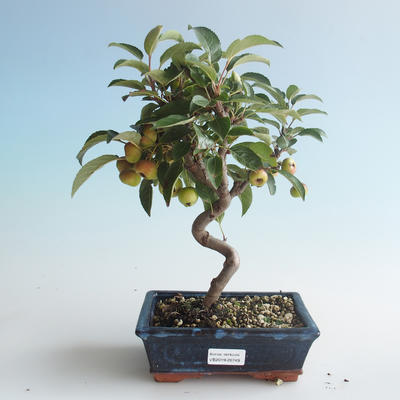 Outdoor Bonsai - Malus halliana - Kleiner Apfel 408-VB2019-26749 - 1