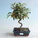 Outdoor Bonsai - Malus halliana - Kleiner Apfel 408-VB2019-26749 - 1/4