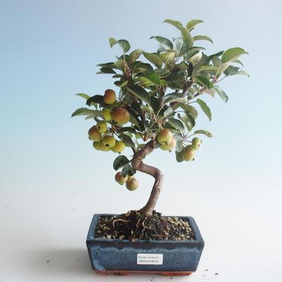Outdoor Bonsai - Malus halliana - Kleiner Apfel 408-VB2019-26751 - 1