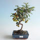 Outdoor Bonsai - Malus halliana - Kleiner Apfel 408-VB2019-26751 - 1/4