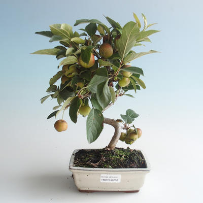Outdoor Bonsai - Malus halliana - Kleiner Apfel 408-VB2019-26758 - 1