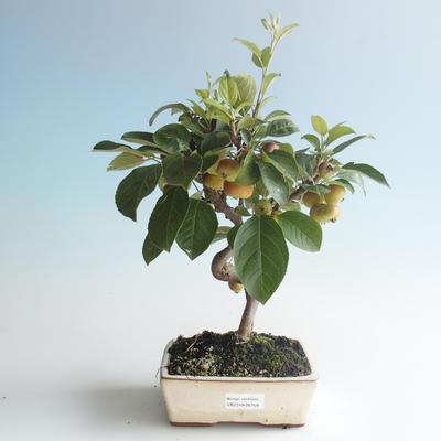 Outdoor Bonsai - Malus halliana - Kleiner Apfel 408-VB2019-26759 - 1