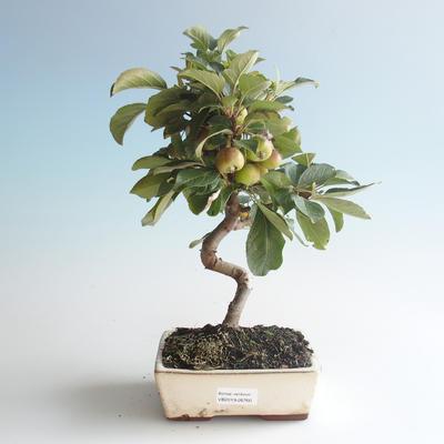 Outdoor Bonsai - Malus halliana - Kleiner Apfel 408-VB2019-26760 - 1