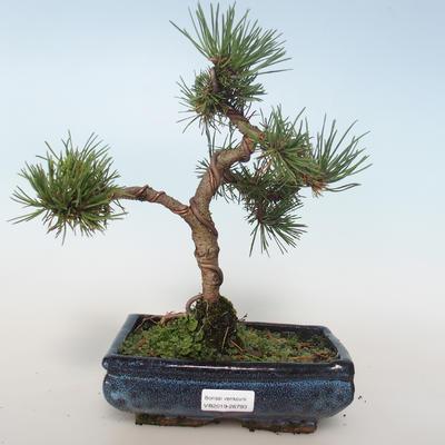 Outdoor Bonsai - Pinus mugo Humpy - Kiefer kniend 408-VB2019-26793