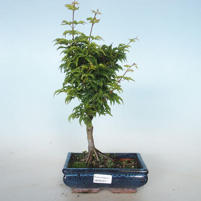 Bonsai im Freien - Acer palmatum SHISHIGASHIRA - Kleinblättriger Ahorn VB2020-671 - 1