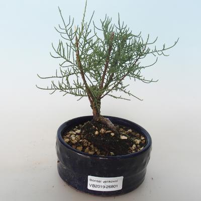 Bonsai im Freien - Tamaris parviflora Kleinblättriger Tamarisk 408-VB2019-26801 - 1